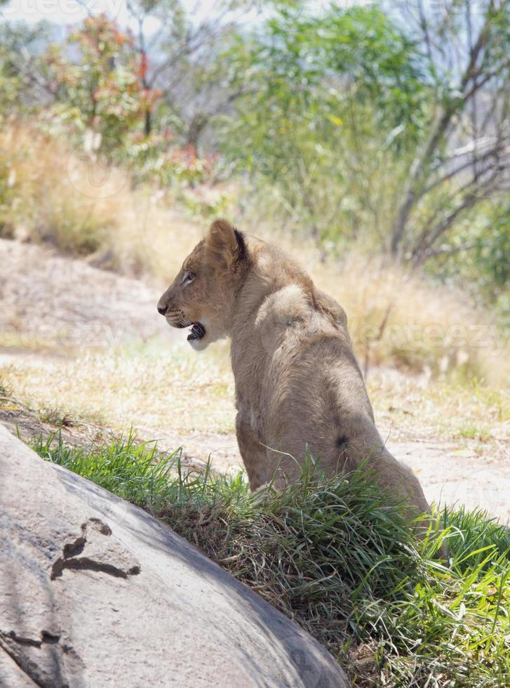 cachorro de león foto