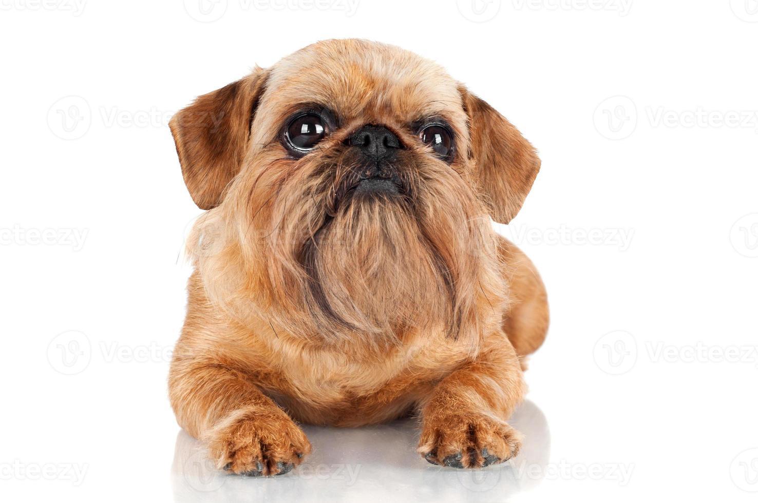 Bruselas Griffon perro acostado foto