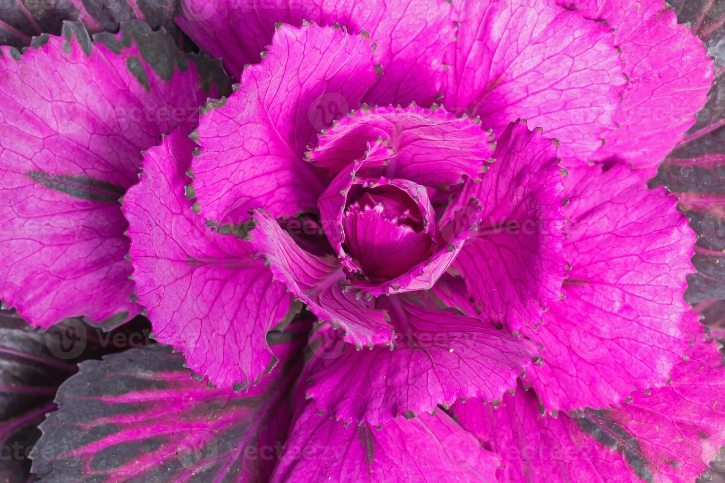 Decorative cabbage photo