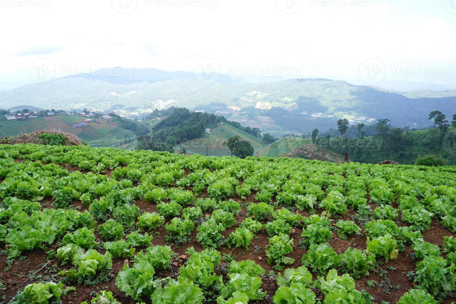 lechuga verde fresca en el suelo en la granja foto