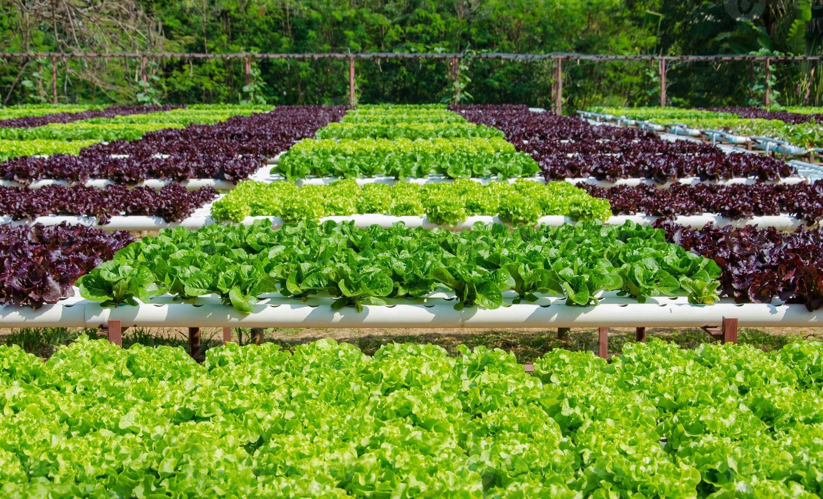 Organic hydroponic vegetable cultivation farm photo
