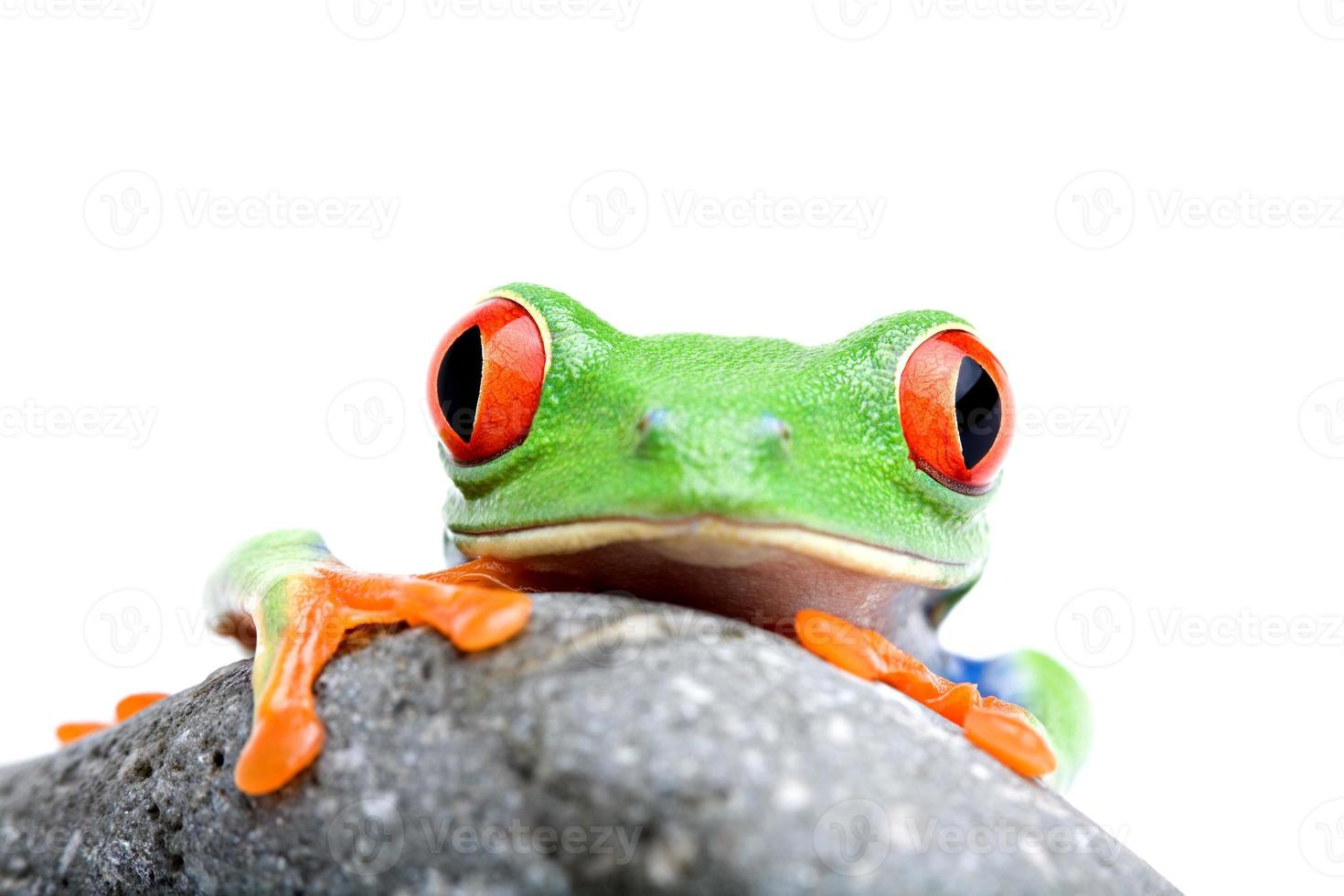 frog looking over rock isolated photo