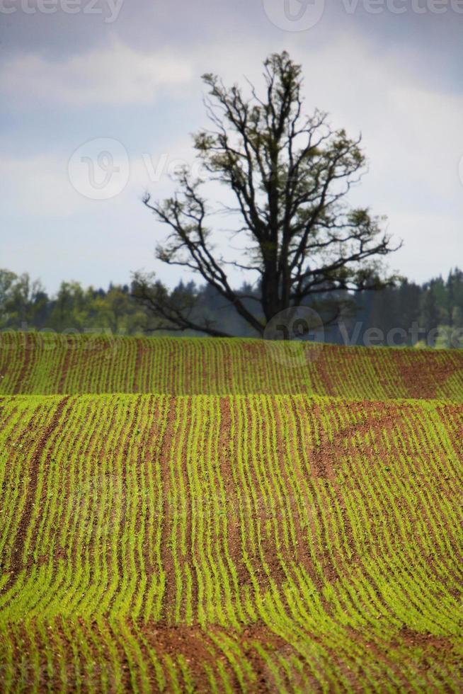 Spring corn rows photo
