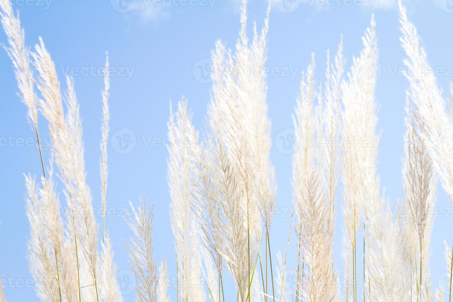 grama de suavidade pena branca com fundo azul céu e espaço foto