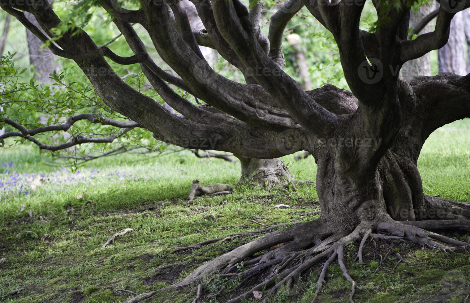 velha árvore com raízes expostas foto
