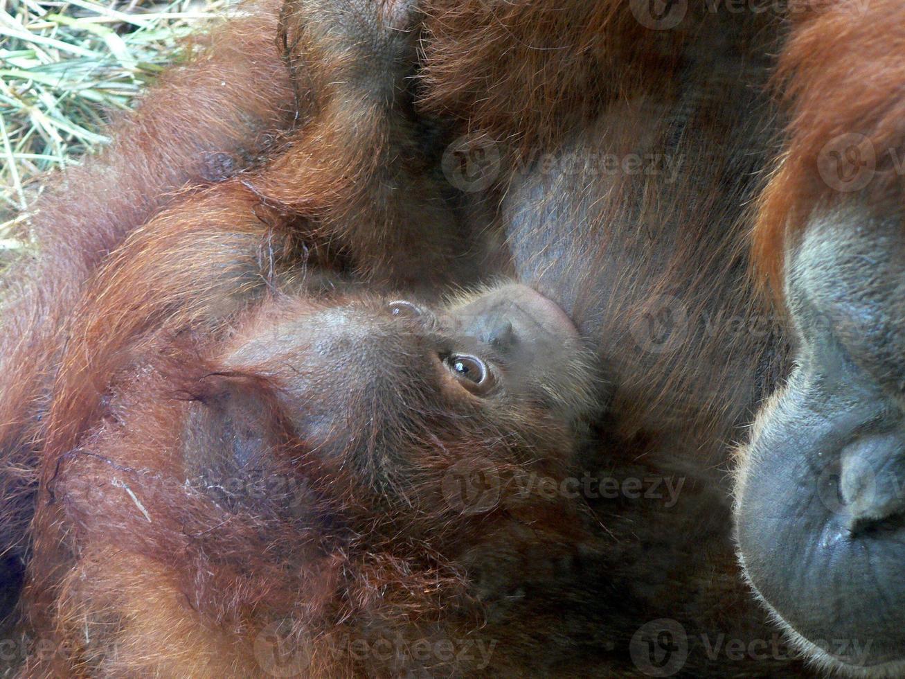 Mother and Baby Orangutan photo