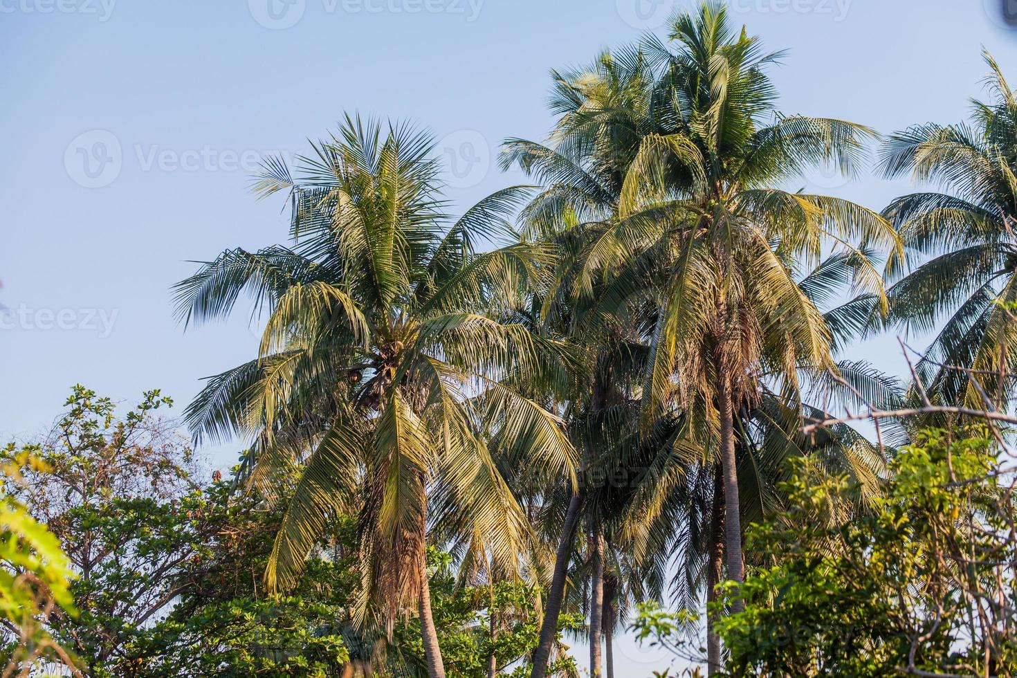 Palmera de cocos foto