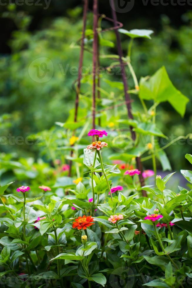 zinnias de verano foto