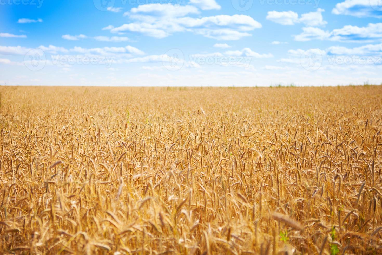 Summer Wheat photo