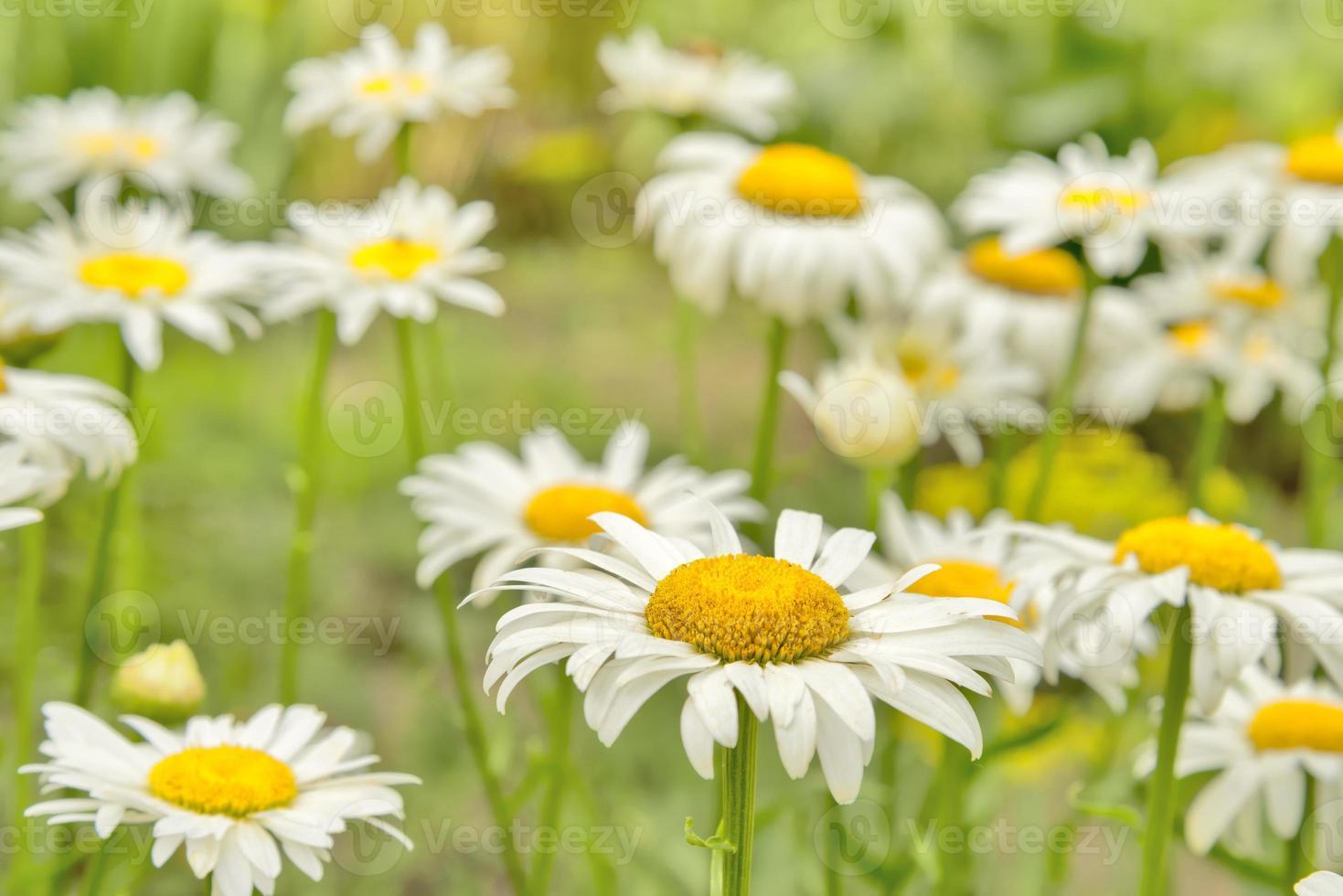 Daisies. Summer. photo