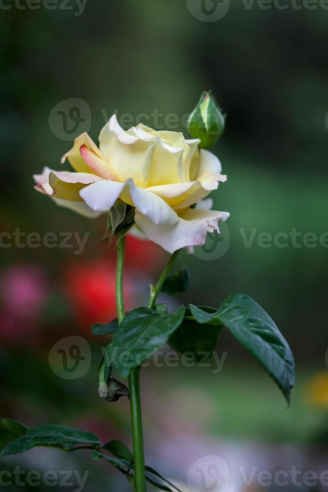 FLOWER: close up yellow Chinese rose blossom isolated Beijing, China photo