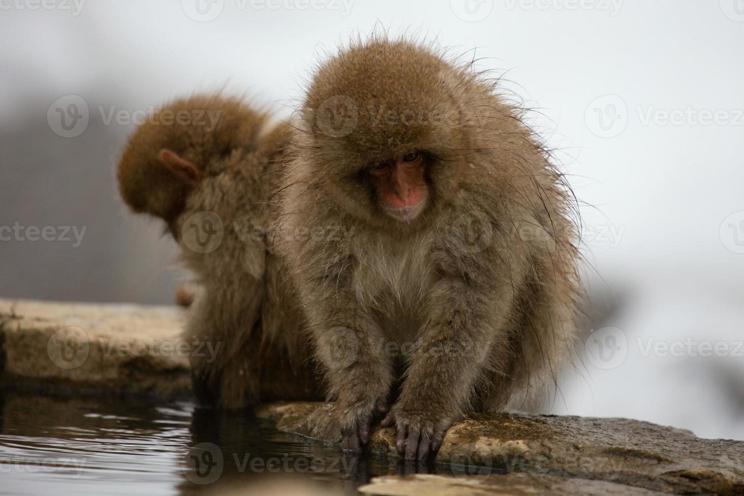 Snow monkeys in Japan photo