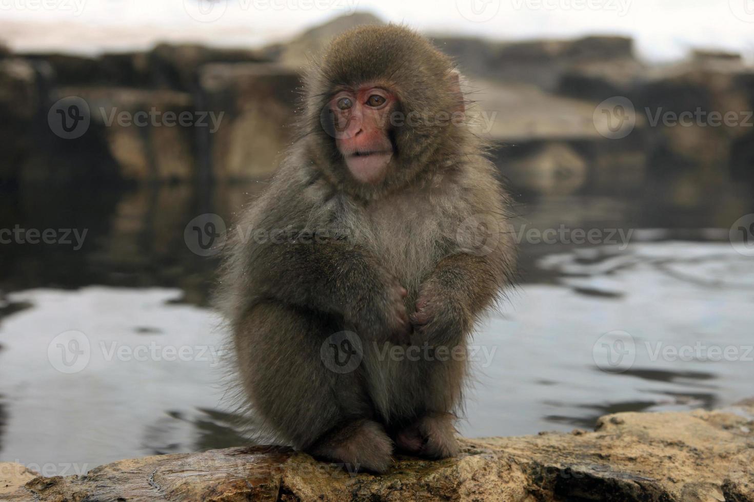 monos de nieve en Japón foto