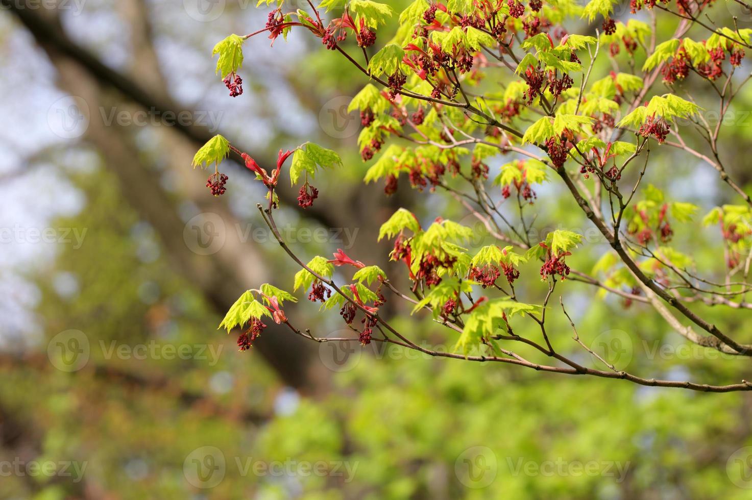 arce de primavera foto