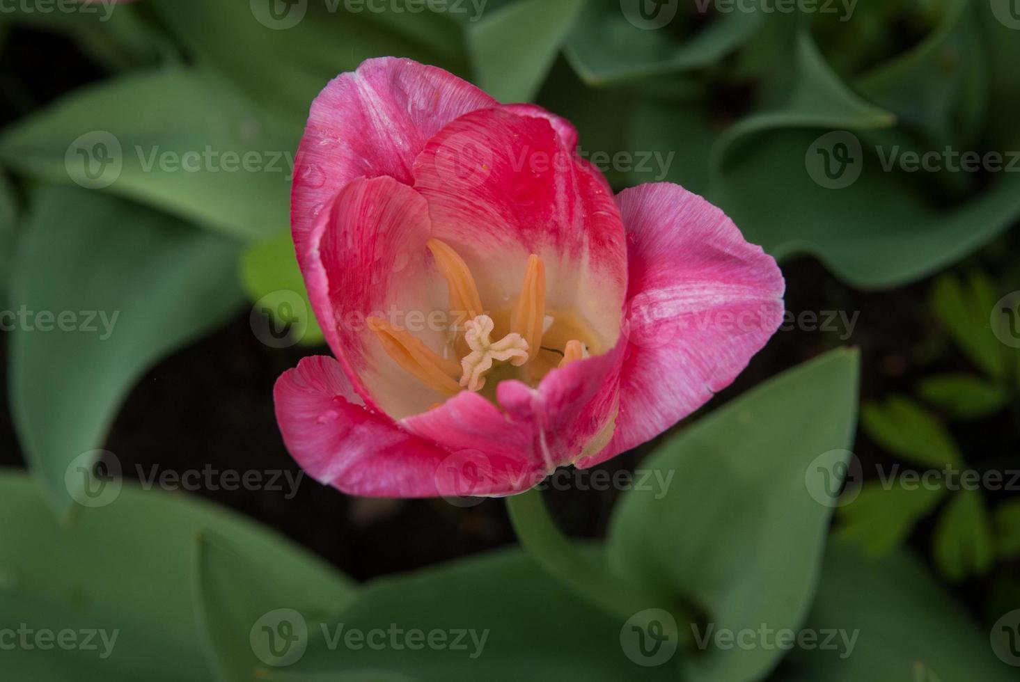 Spring tulips photo