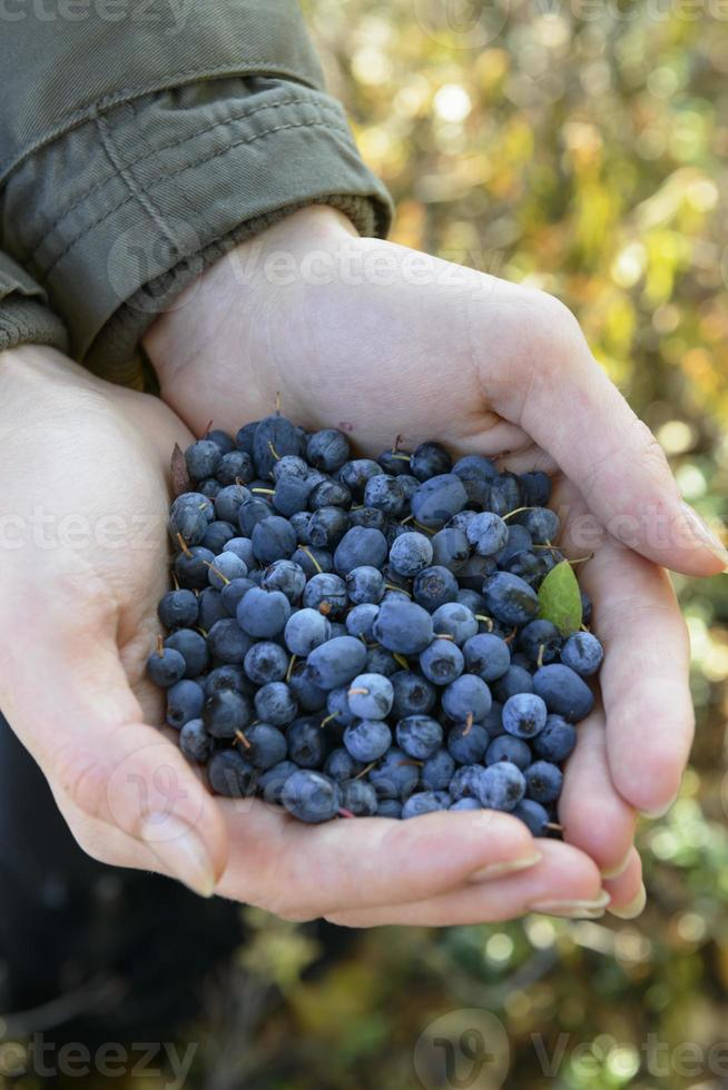 wild blueberries and blackberries in the hands of photo