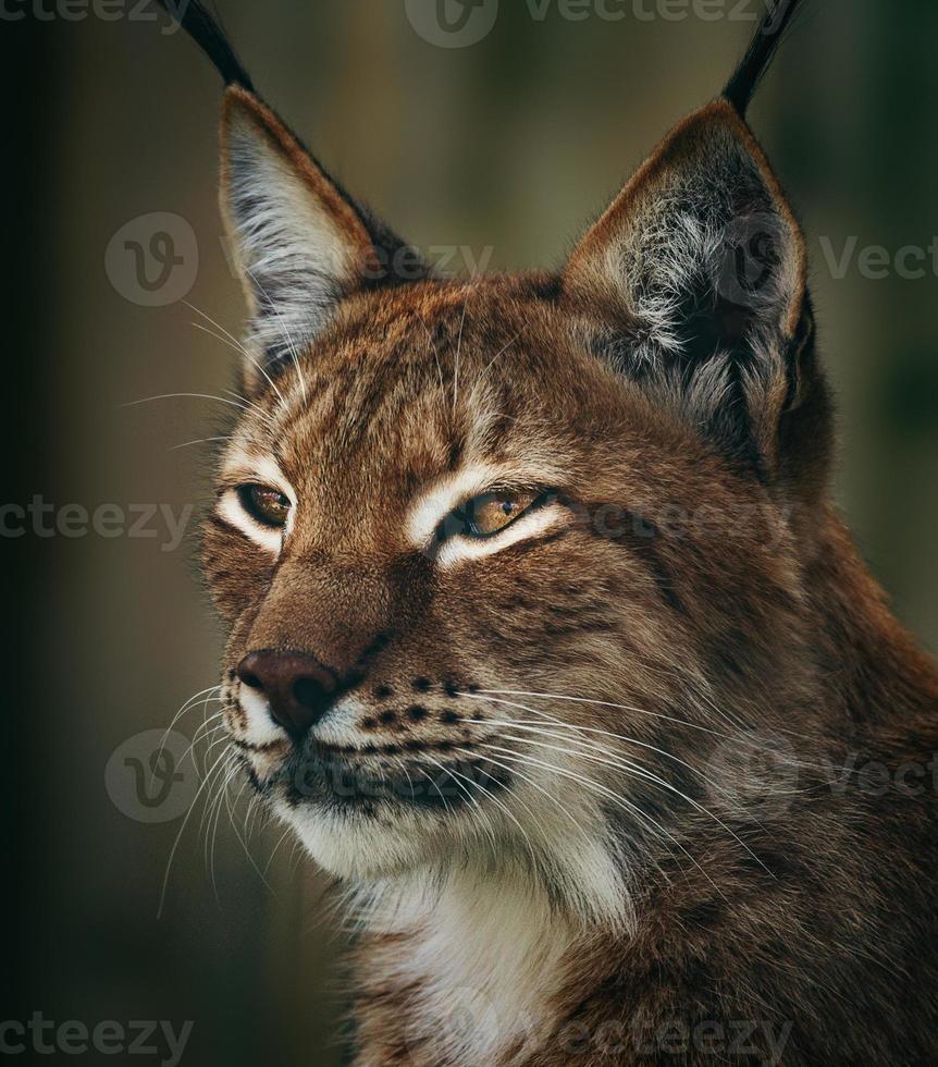 Siberian lynx photo