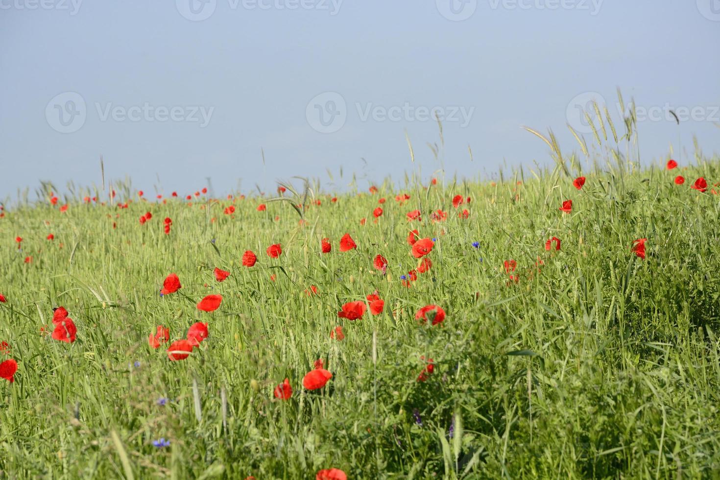 paisaje rural - amapolas rojas foto