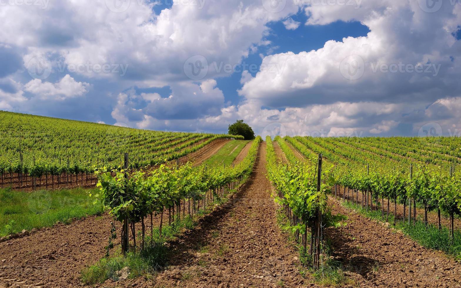 Vineyard landscape photo