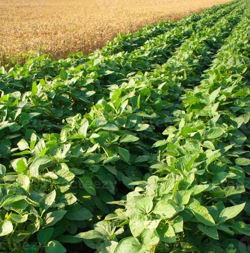 Rows of soybean crops in a field photo