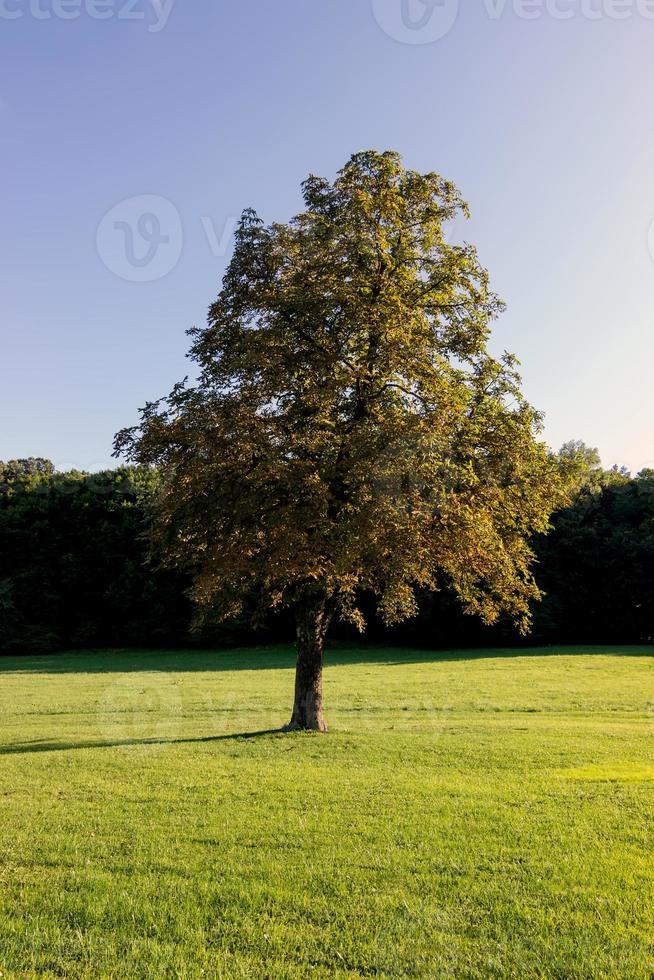 solitario hermoso árbol de otoño. paisaje de otoño foto