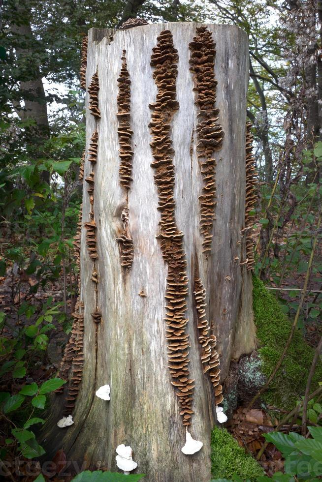 hileras de hongos de soporte en un tocón de árbol foto