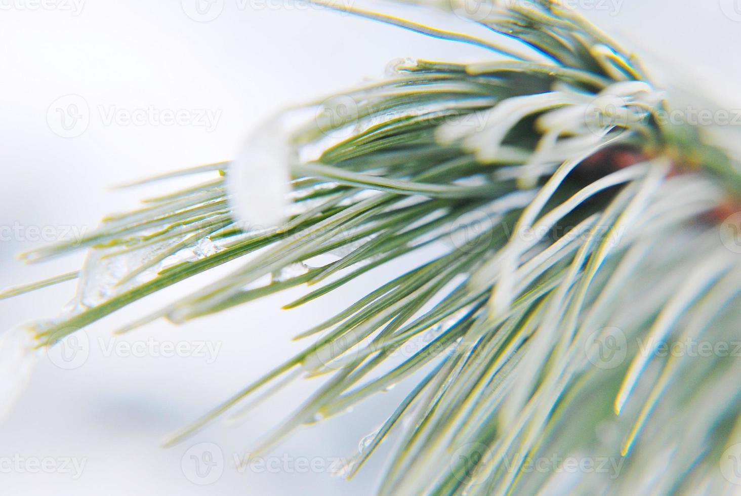 Winter pine branches photo