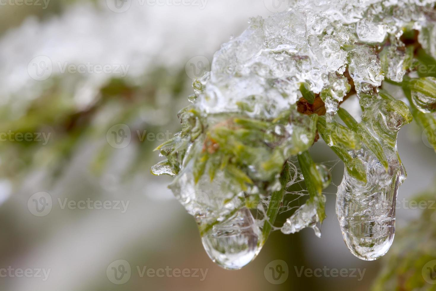 invierno. abeto. nieve. foto