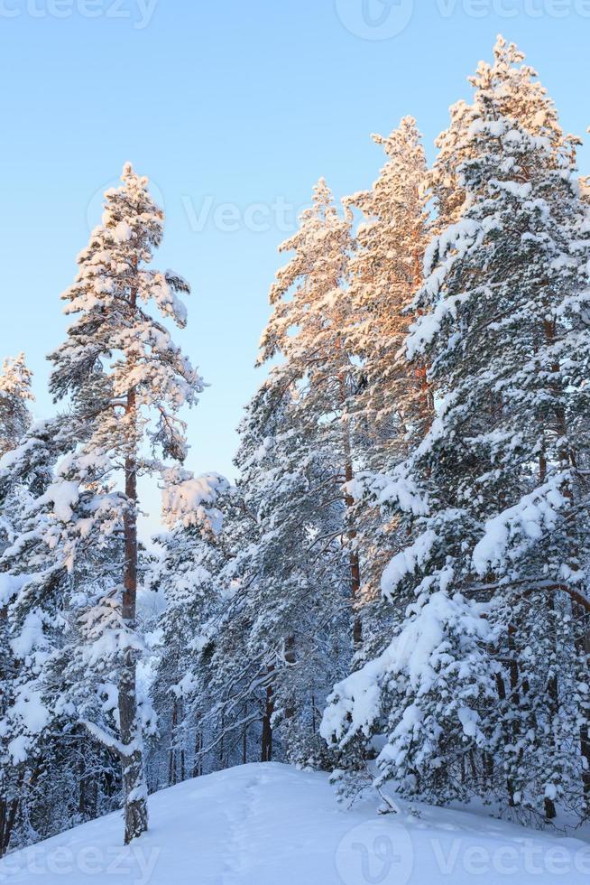 bosque nevado en invierno foto