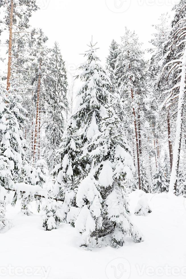 bosque de invierno ruso en la nieve foto