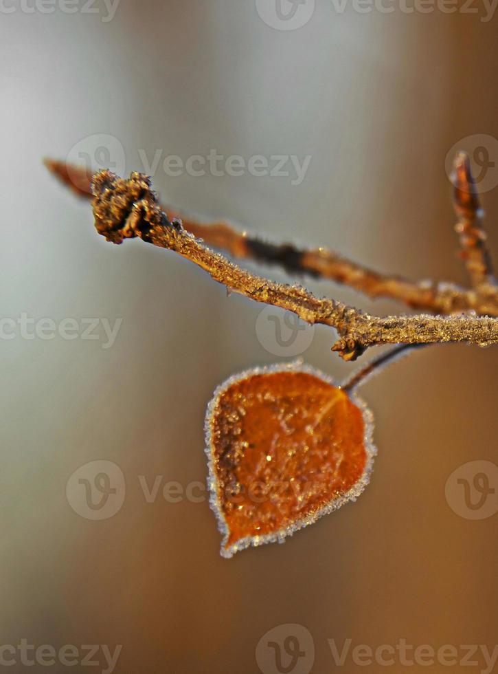 hojas y heladas en invierno foto