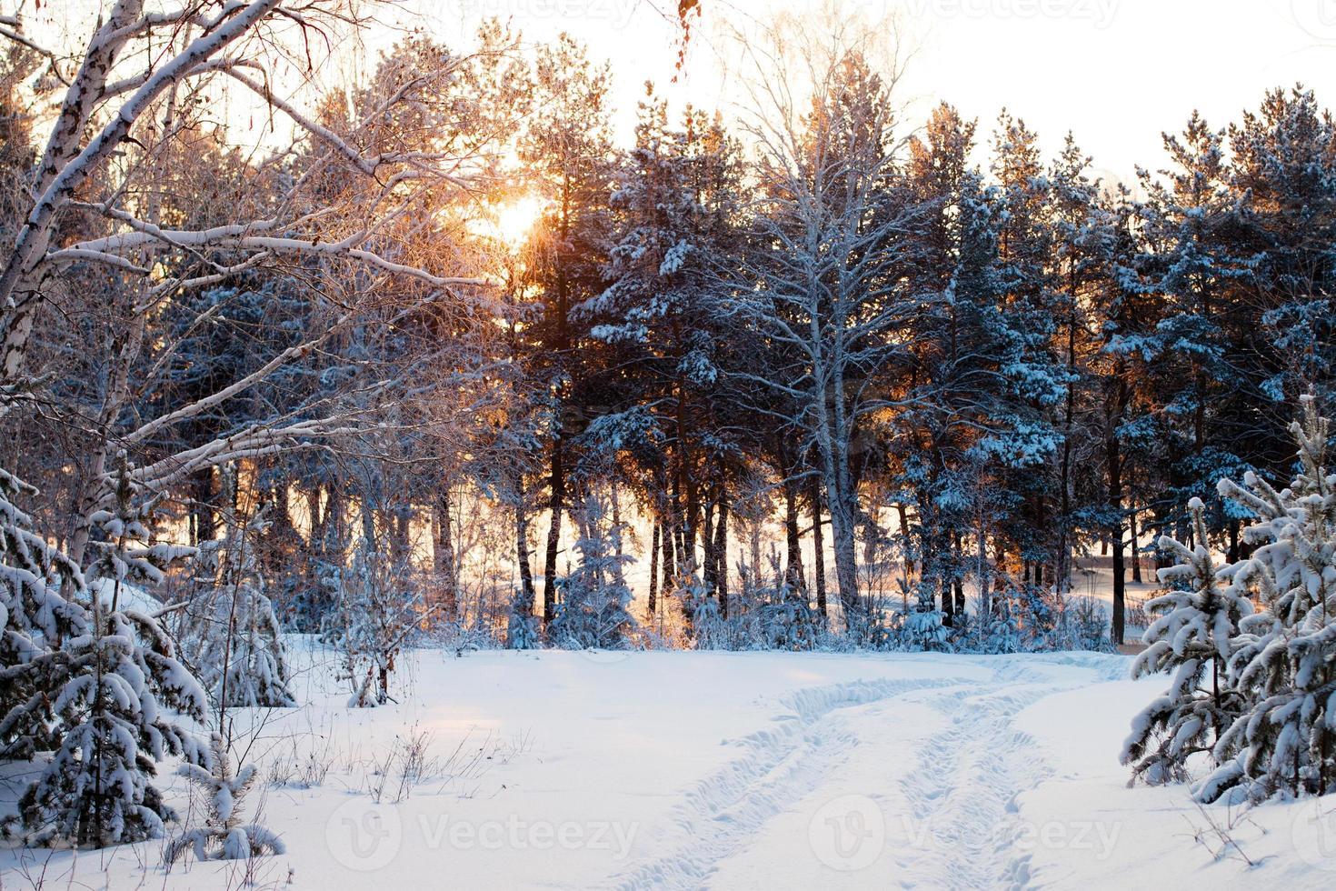 bosque de invierno al amanecer. foto