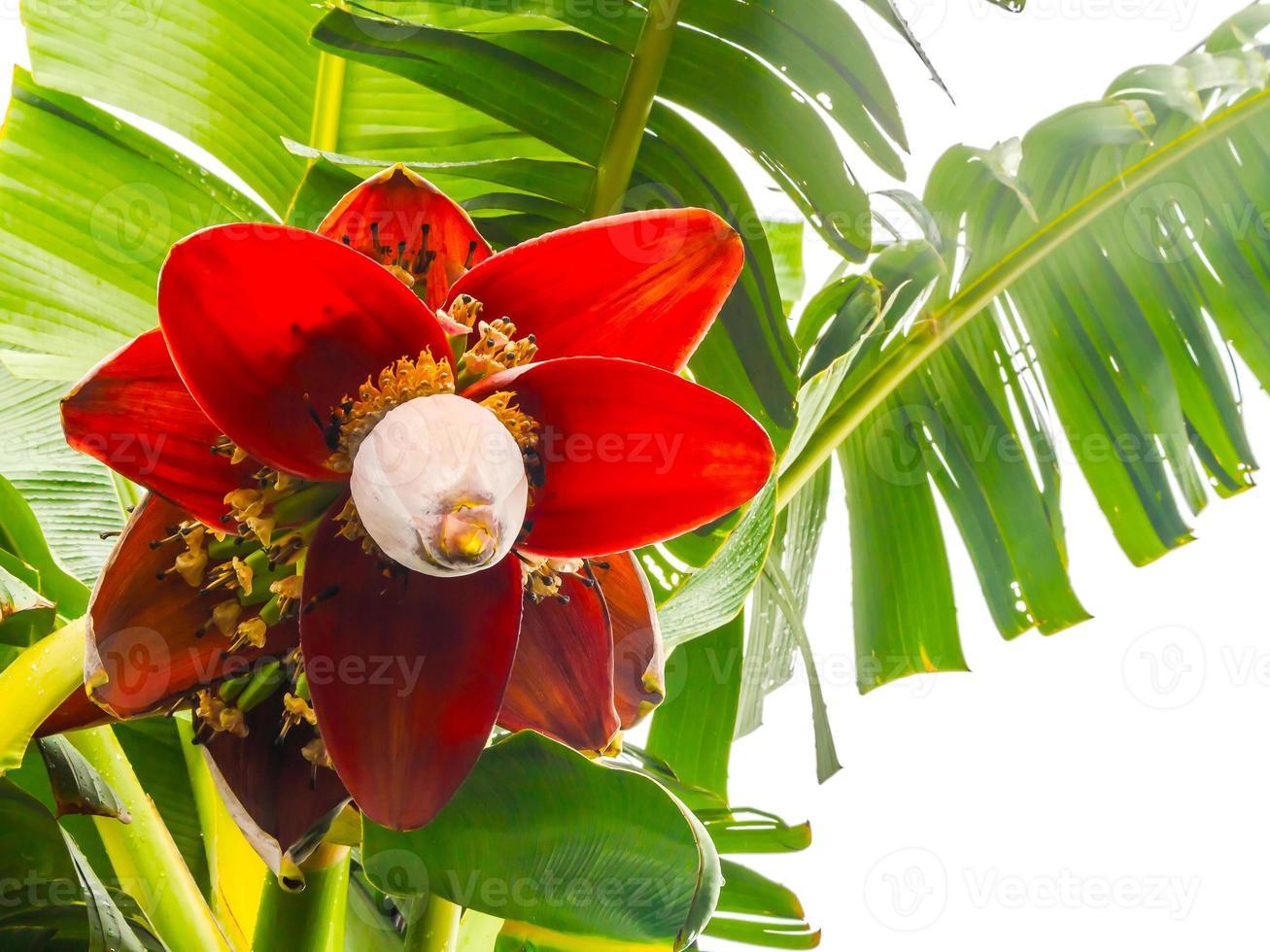 flor de platano foto