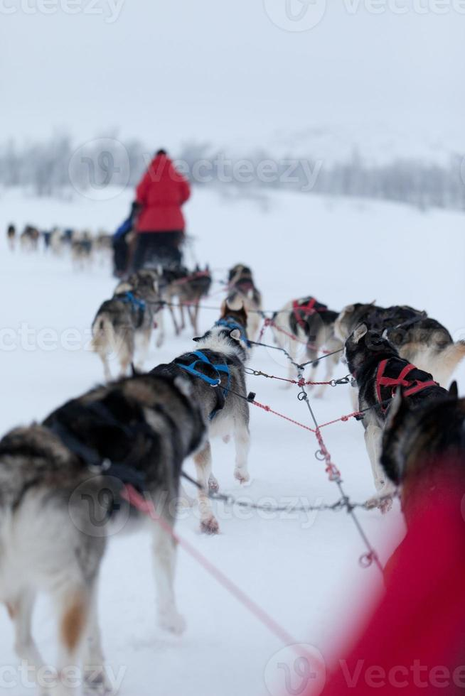 perros husky de carreras foto