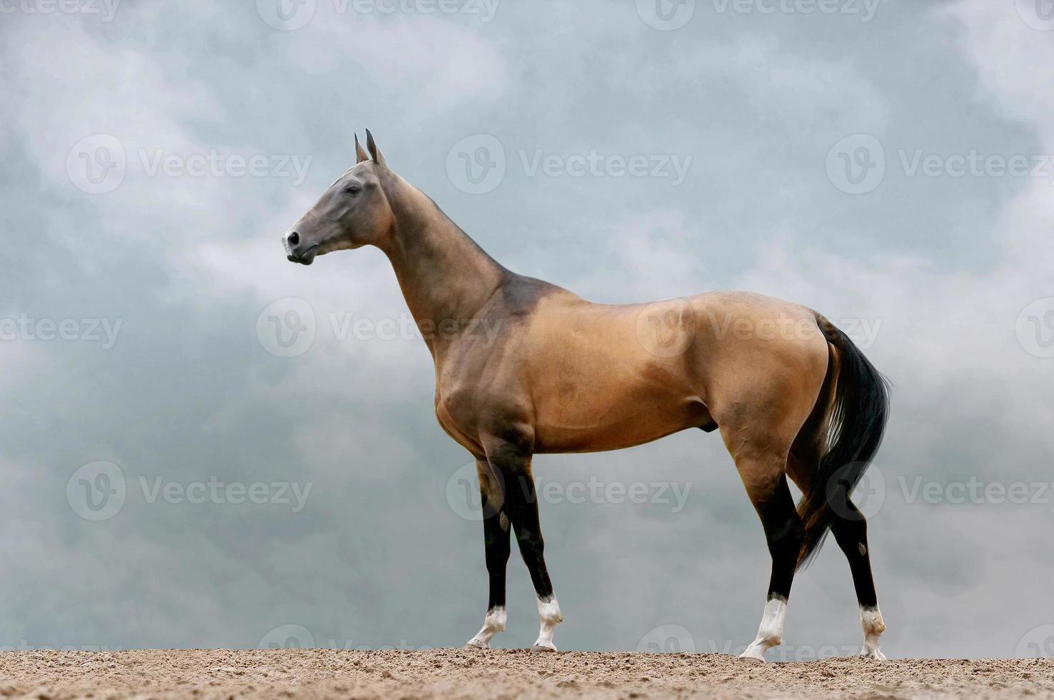 pureblood akhal-teke stallion photo
