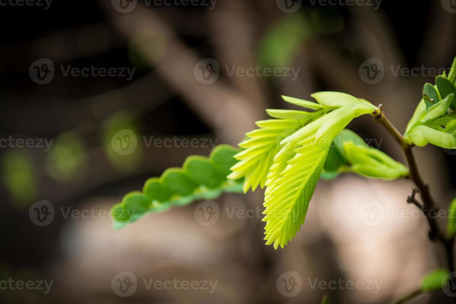 hojas de tamarindo foto