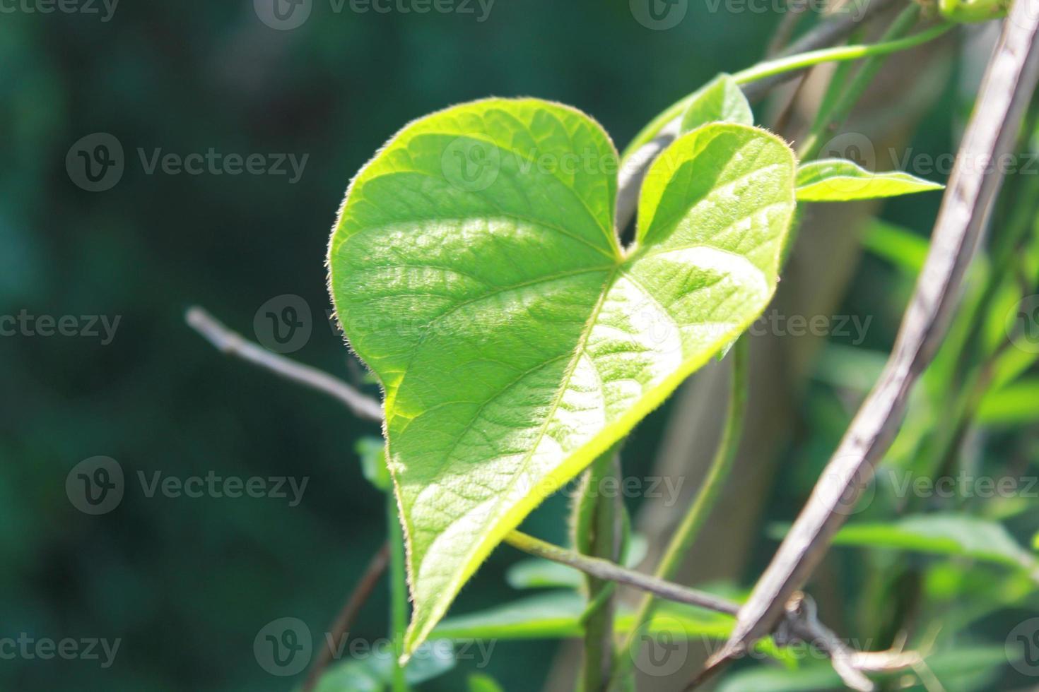 hojas en forma de corazón con luz solar foto