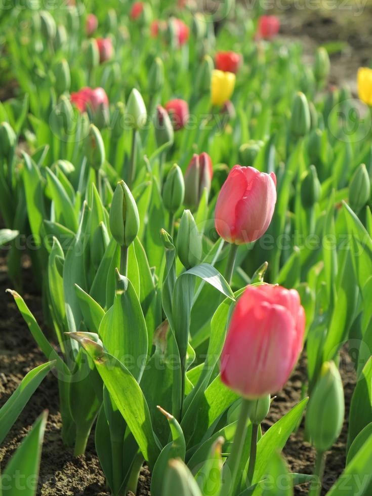 campo de tulipanes con tulipanes multicolores foto