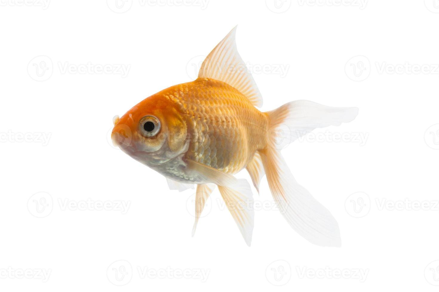 Golden koi fish photo