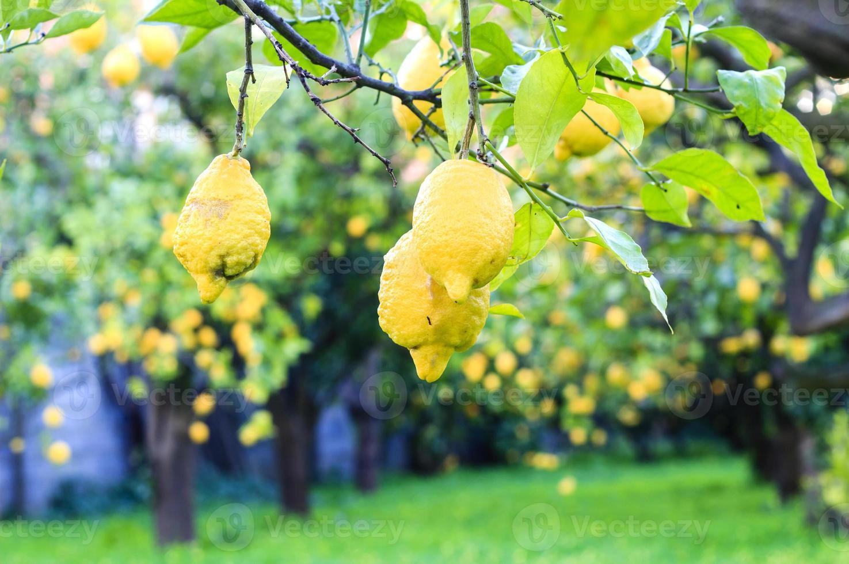 Lemon garden photo