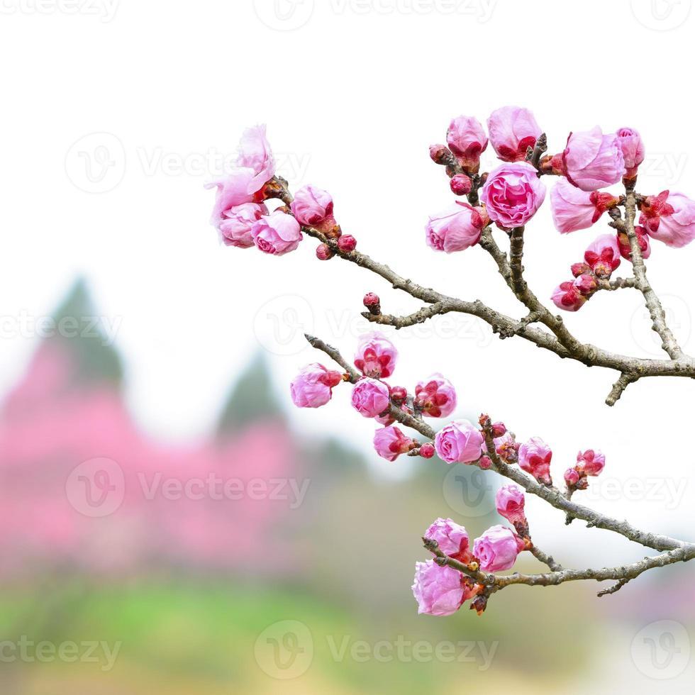flor de ciruelo a principios de primavera foto