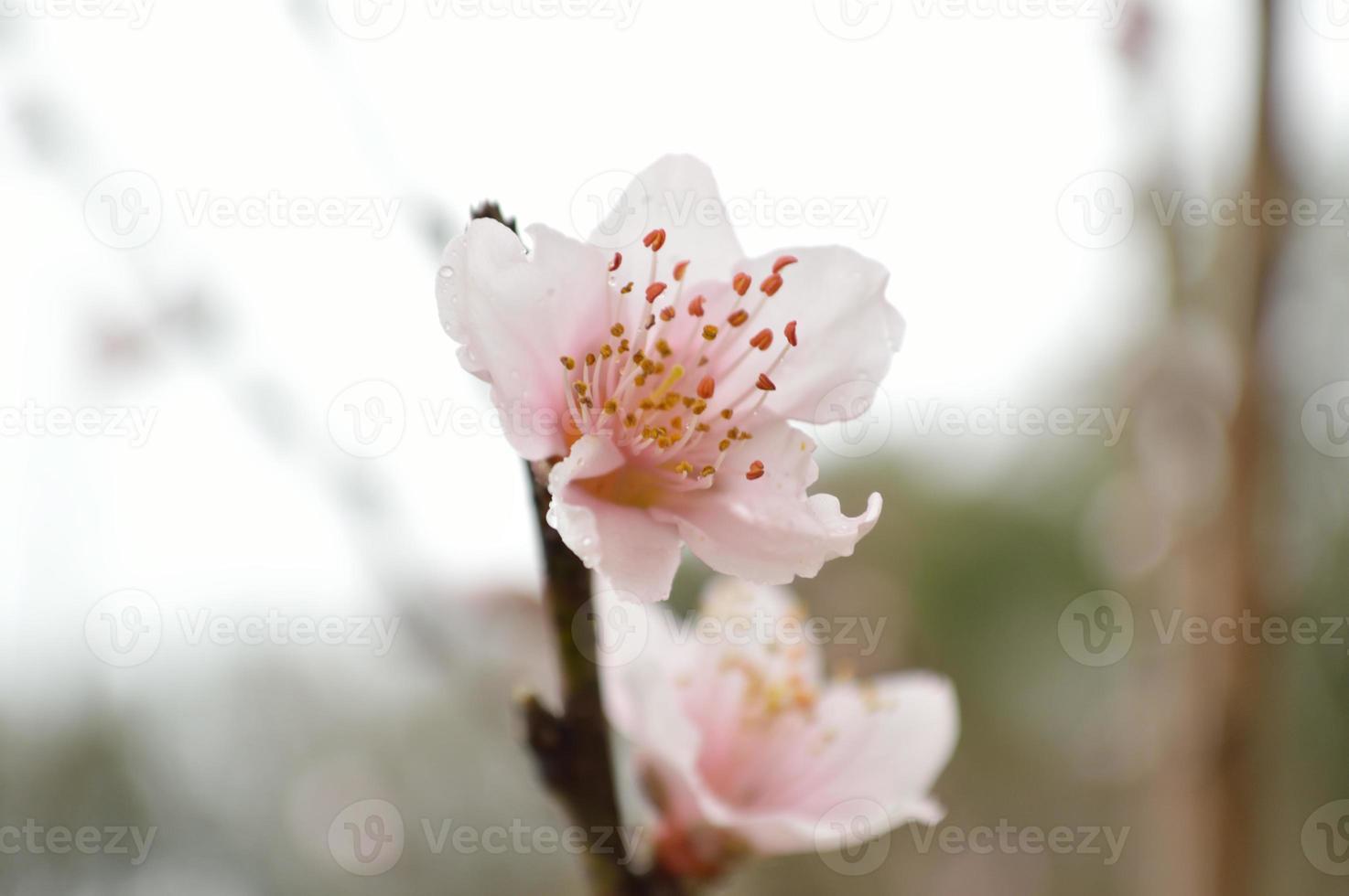 primer plano de una flor de durazno foto