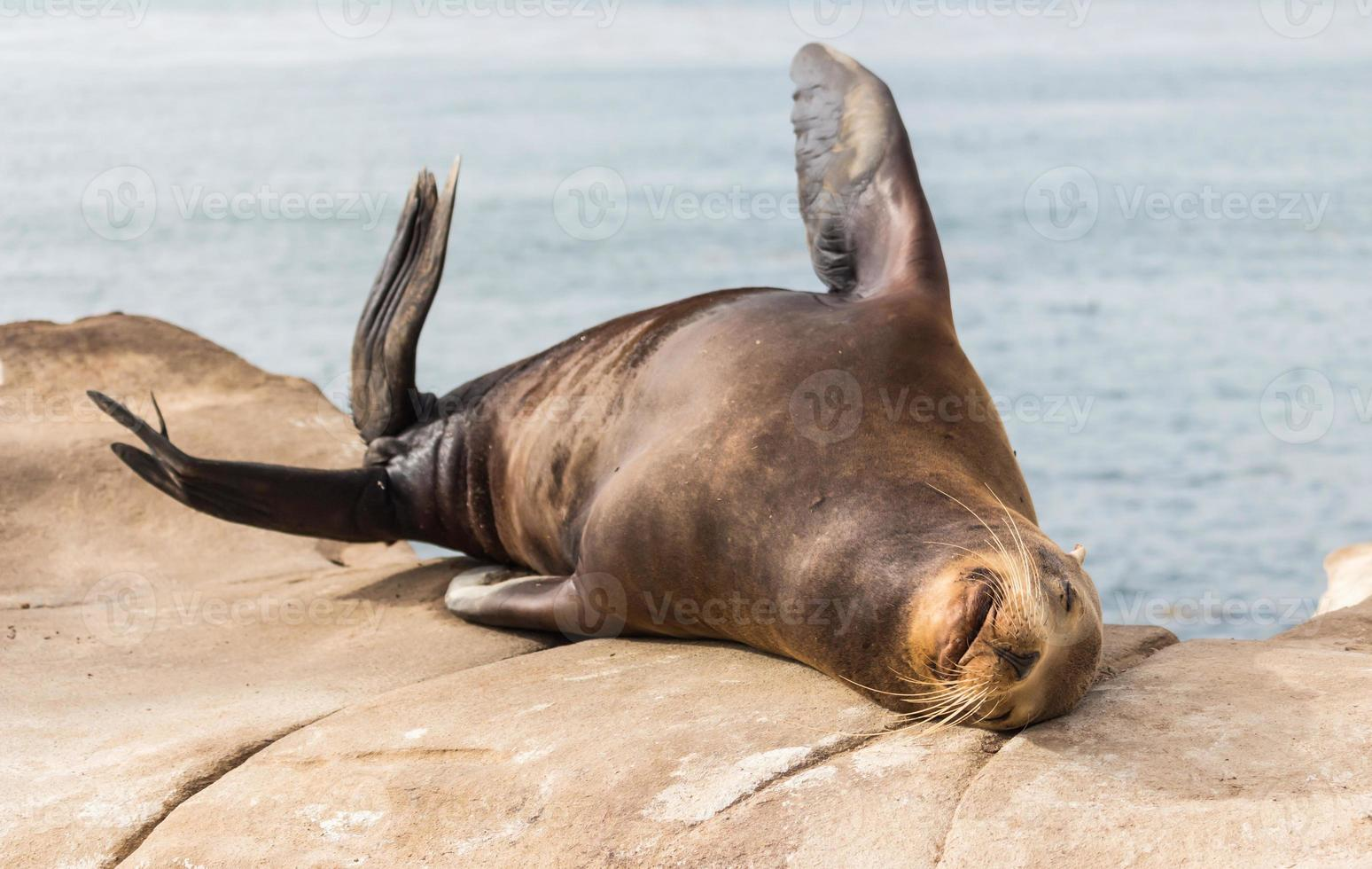 zeeleeuw bij de baai van La Jolla in Amerika foto