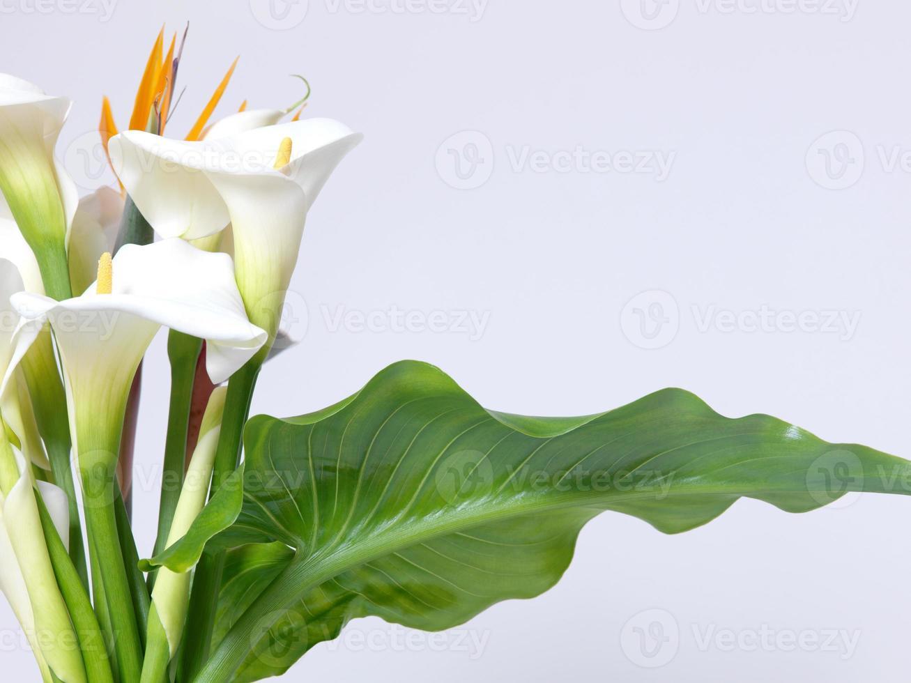 White calla lilies photo