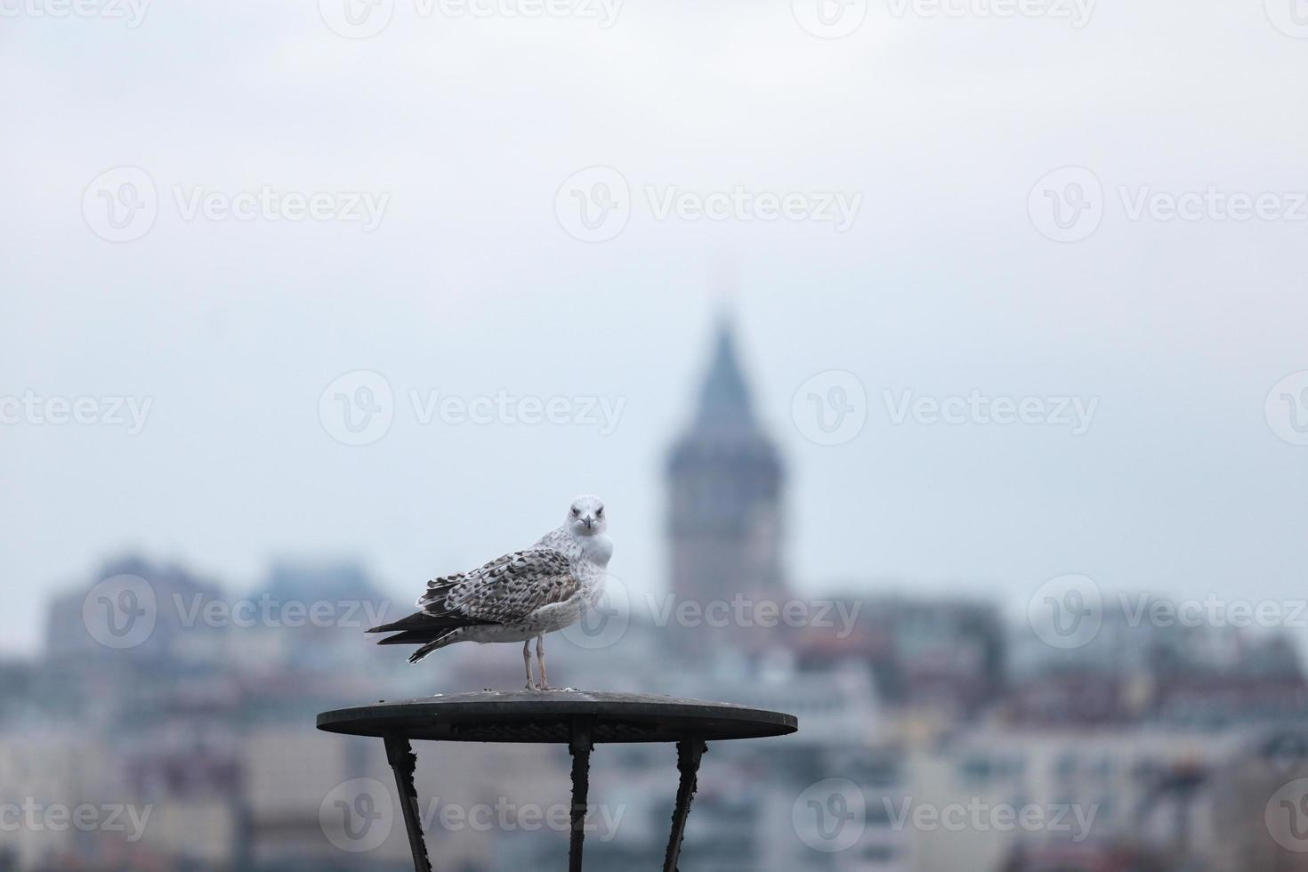 Curious Seagull on the Galata tower photo