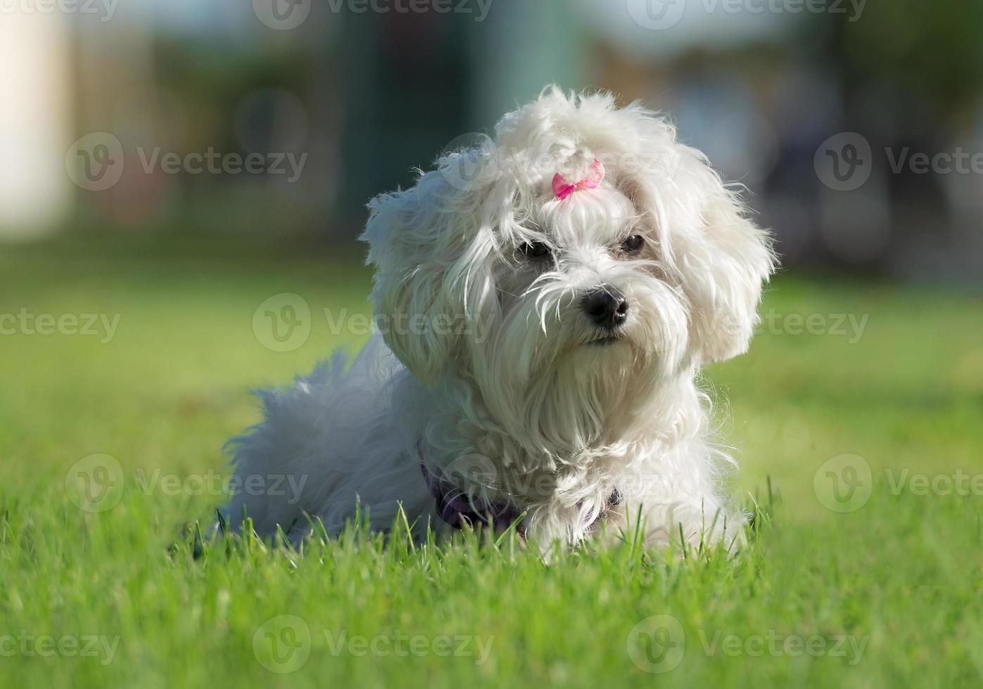 Cute female Maltese dog with pink bow photo