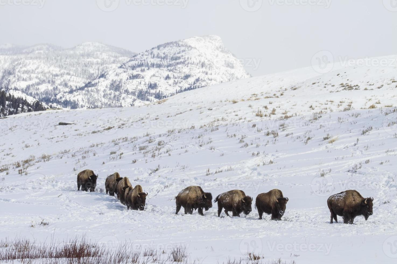 Bison Herd on Snowy Trail photo
