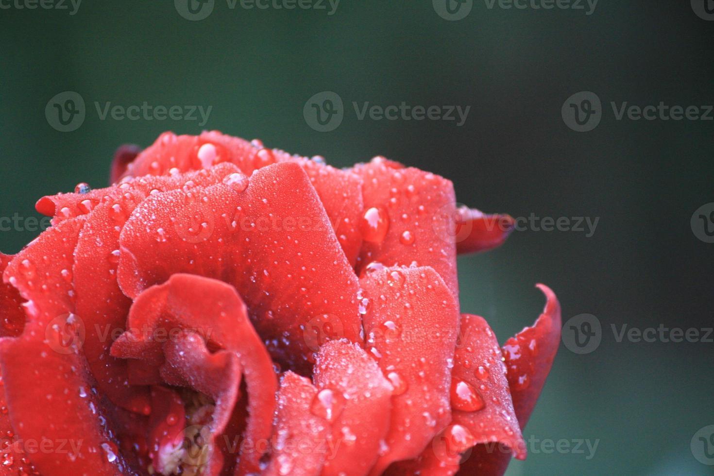 rosa lluviosa foto