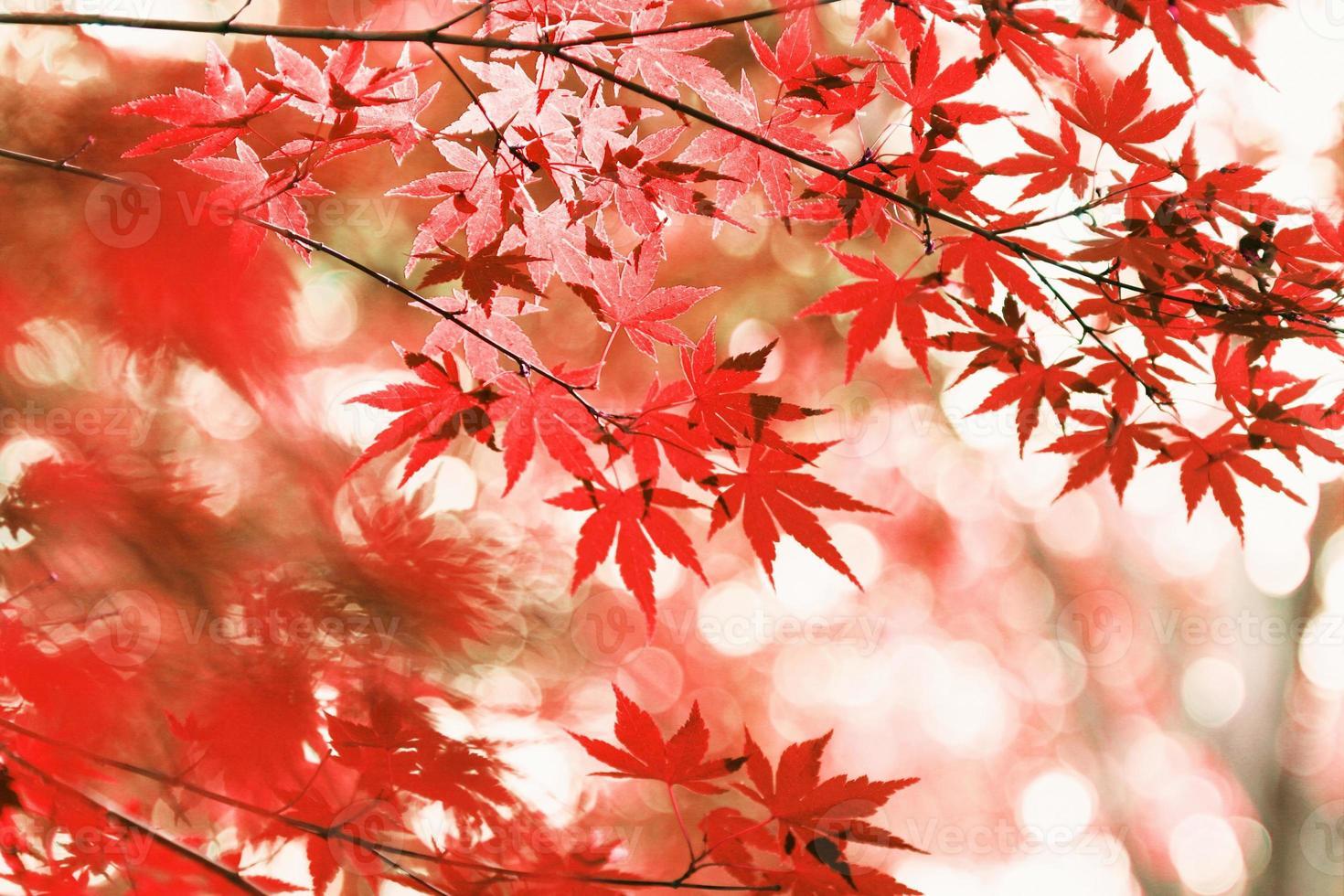 hojas de arce otoñal foto