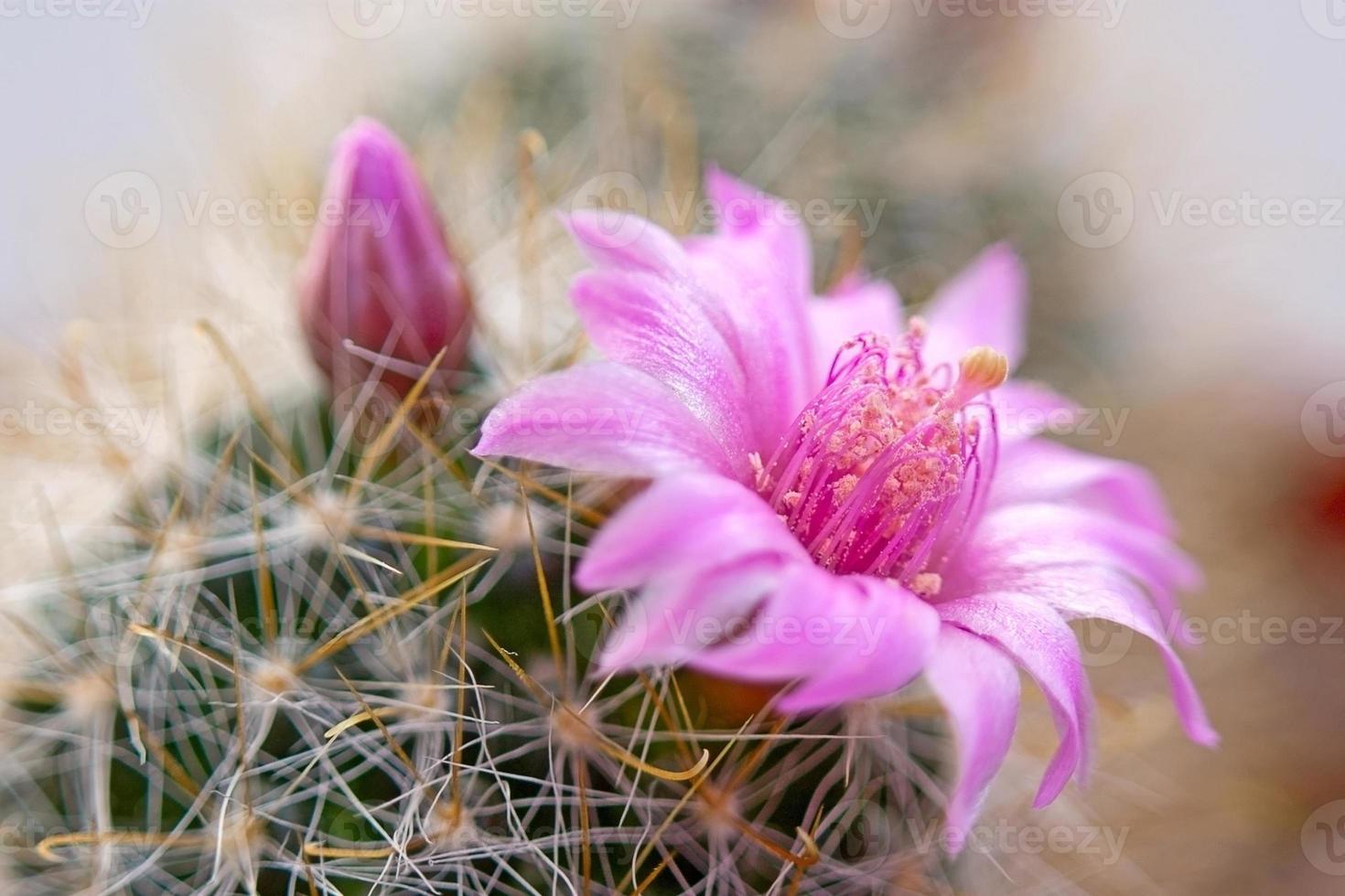 Cactus flower photo